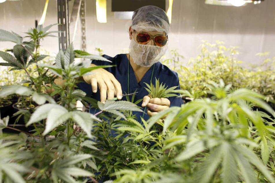 Die Halle wurde für die Bepflanzung mit mindestens 1500 Marihuanapflanzen vorbereitet (Symbolbild).