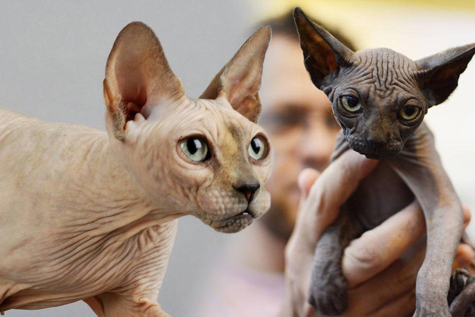 Tierquäler haben normale Katzen rasiert, um sie als Sphynx (siehe Bild) zu verkaufen.