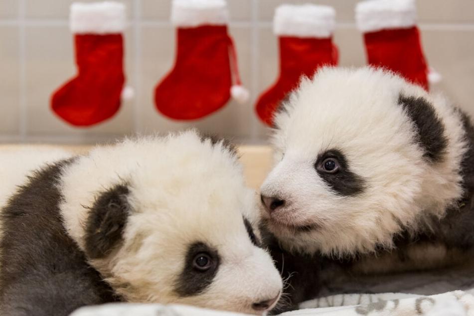 Die beiden Panda-Jungtiere aus dem Zoo Berlin. Im Hintergrund hängen Nikolaus-Socken.