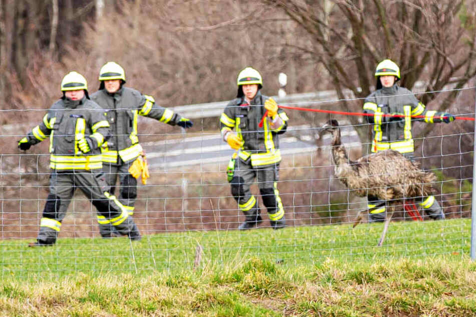 Feuerwehrleute kreisten den Emu am Sonntag mit einem Seil ein - erfolglos!