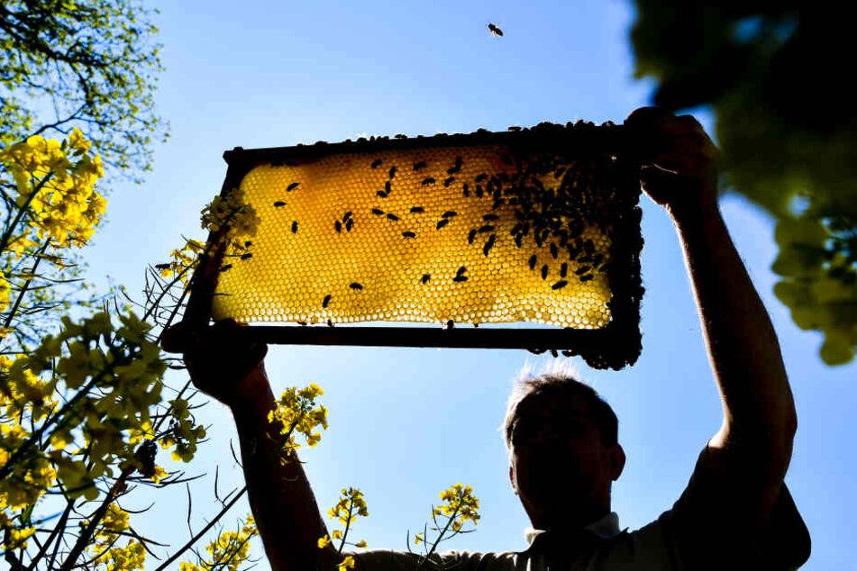 Ein Imker zeigt eine Bienenwabe an einem blühenden Rapsfeld.