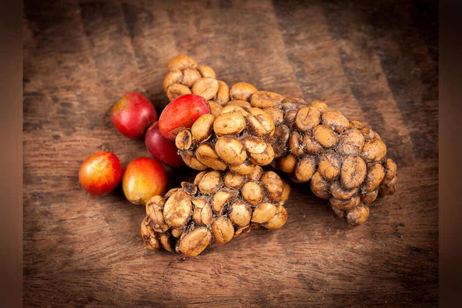 Kaffeekirschen vor und nach der Fermentation. Die unverdaut ausgeschiedenen Kaffeebohnen werden zuerst gereinigt und dann geröstet.