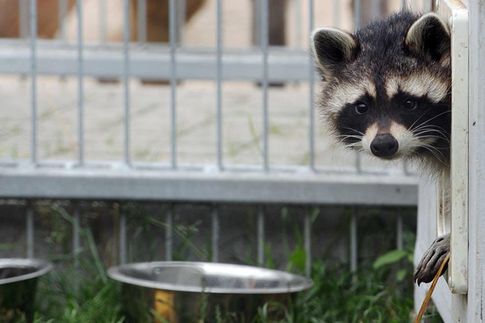 Ein Waschbär blickt aus seinem Käfig. Unschuldige Mine zum bösen Spiel. (Symbolbild)