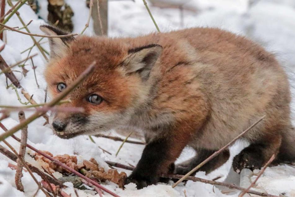 Seit Sonntag wurden die kleinen Füchse von der Berufstierrettung mit Futter versorgt.