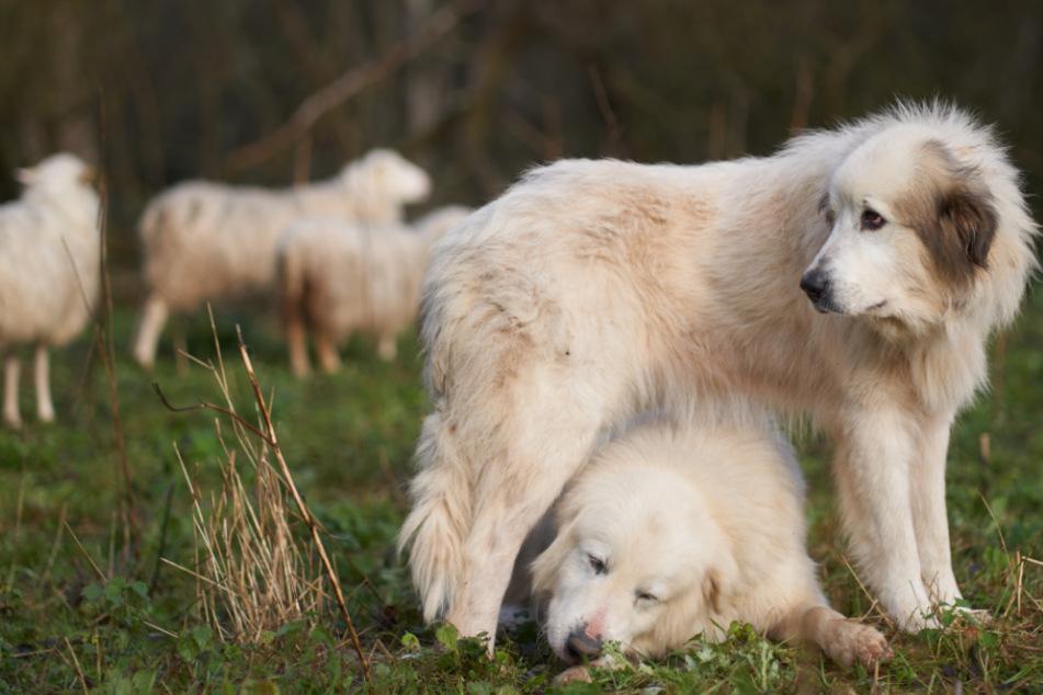 Darum sind diese Hunde echte Lebensretter