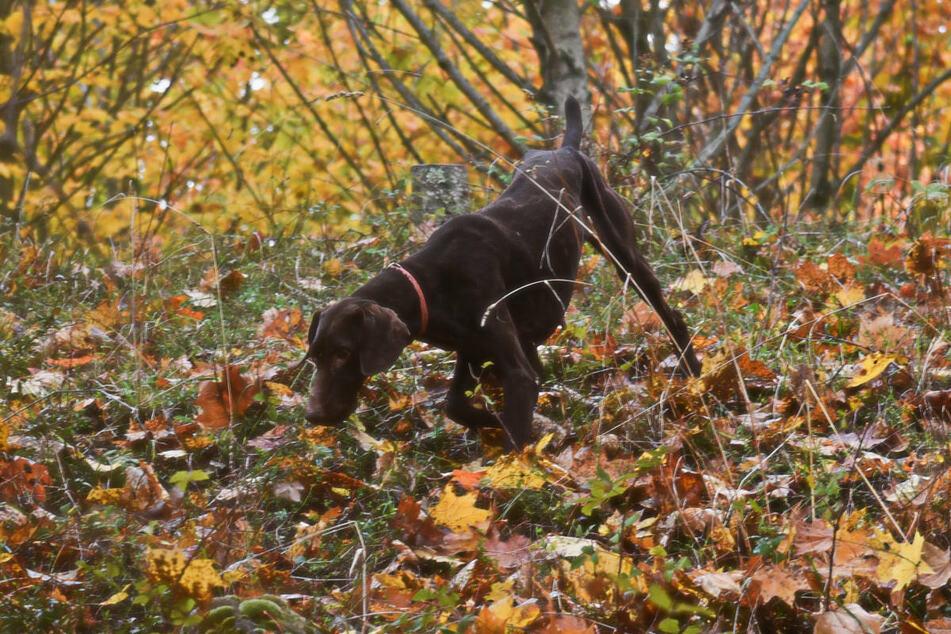 Am Samstag sind ein Herrchen und sein Hund bei einem Spaziergang in einem Waldgebiet bei Fürstenwalde auf Weltkriegsmunition gestoßen. (Symbolfoto)