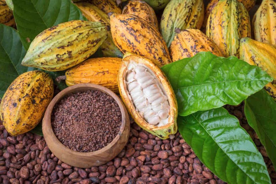 Reife Kakaopulpen und Kakaobohnen, die Grundlage für Schokolade.