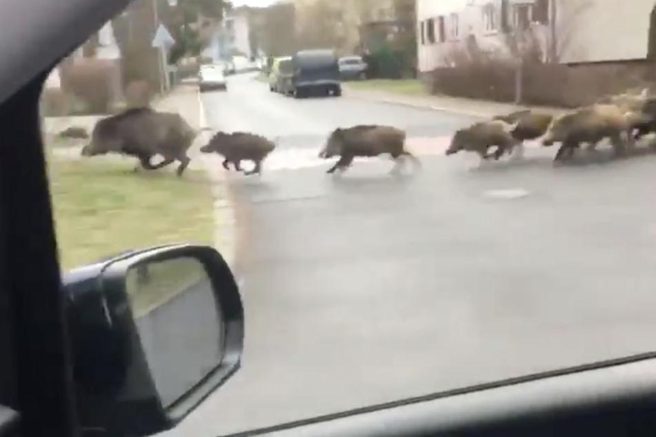Rasanter Netz-Hit: Hier jagt eine Wildschwein-Horde durchs Wohngebiet
