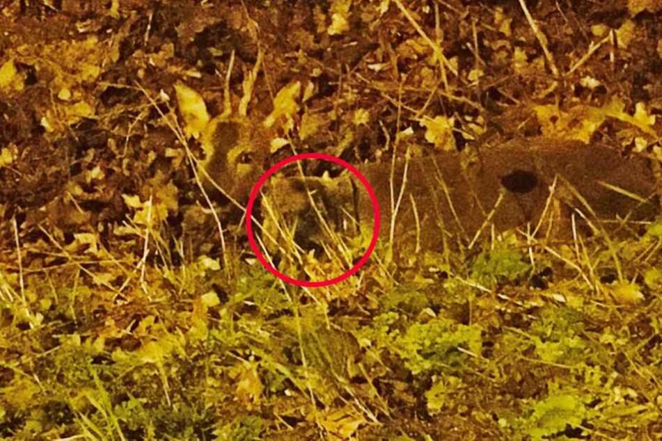 Ein Polizist fotografierte das Tier in seiner misslichen Lage. Es hat einen Topf um den Hals (Kreis).