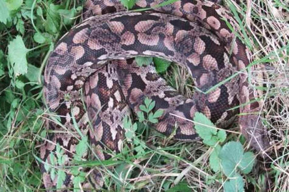 Eine Königspython liegt in Bodenwerder (Niedersachsen) im Gras. Das Tier wurde nach Polizeiangaben vermutlich ausgesetzt.