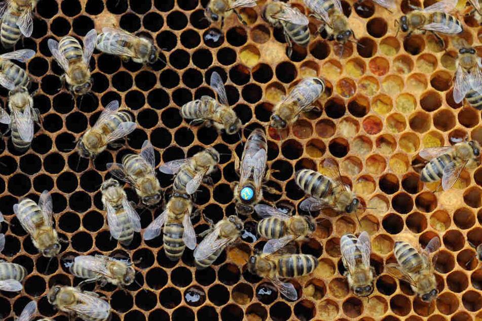 Bei Bienen im Vogtland ist die gefährliche Faulbrut ausgebrochen. (Symbolbild)