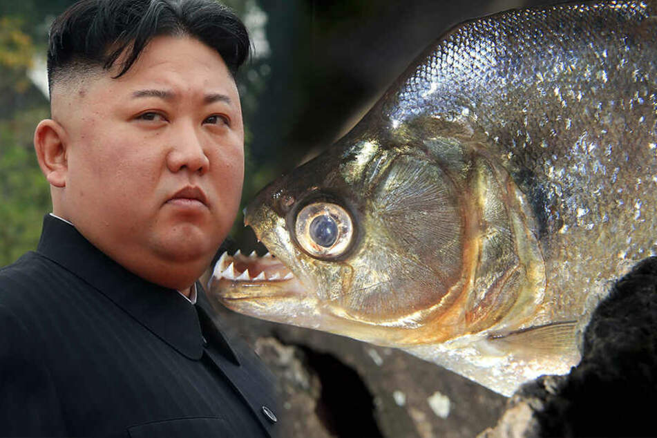 Hinrichtung in Nordkorea: Irrer Kim lässt General in Piranha-Becken werfen
