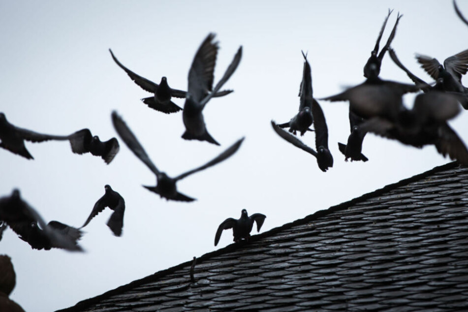 Etwa 400 bis 500 Tauben leben in der Bielefelder Innenstadt.