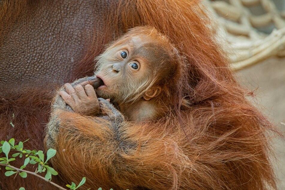 Entscheidung gefallen: So heißt das süße Orang-Utan-Baby!