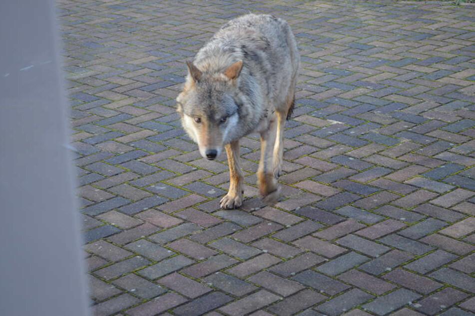 Karolin stand hinter der Schreibe, sah dem Wolf in die Augen. Der nahm sein menschliches Gegenüber aber nicht richtig wahr.