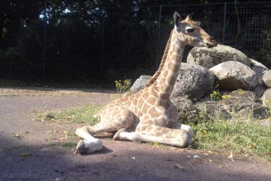 Wie der kleine Leipziger Elefantenbulle muss der Giraffennachwuchs noch auf seinen Namen warten.