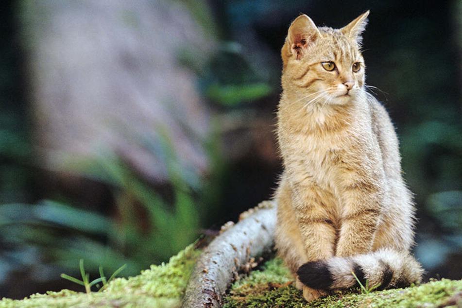 Viele Jungtiere unterwegs: Experten warnen davor, Wildkatzen zu streicheln