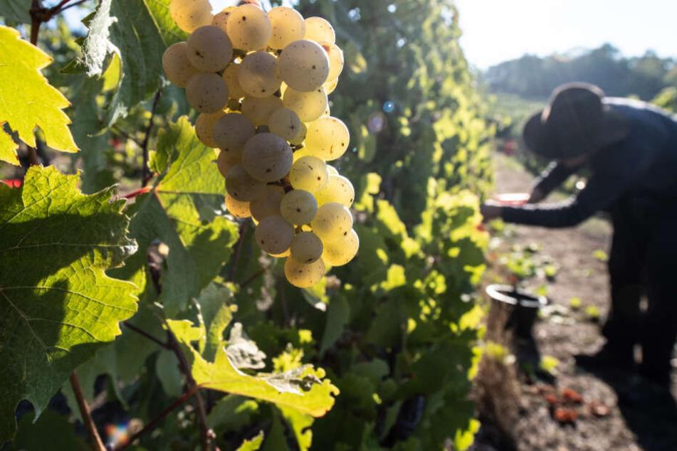 Studie offenbart: Weinberge im Rheingau haben dunkles Geheimnis