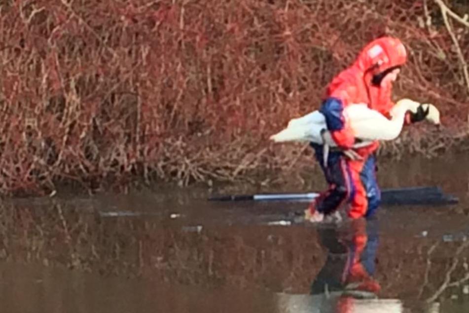 Verletzter Schwan im Eis: Retter der Feuerwehr rücken an
