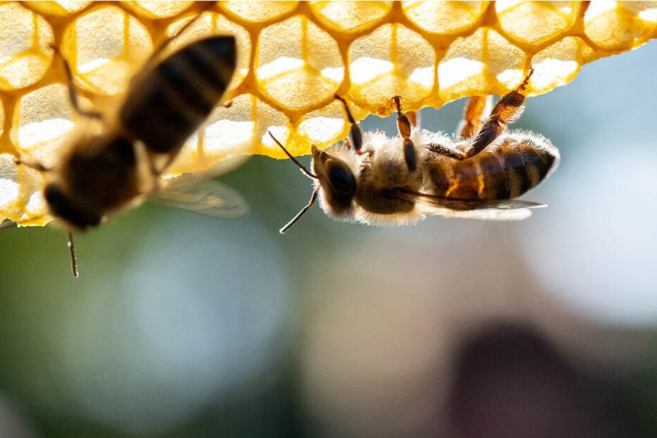 Zwei Bienen an einer Wabe.