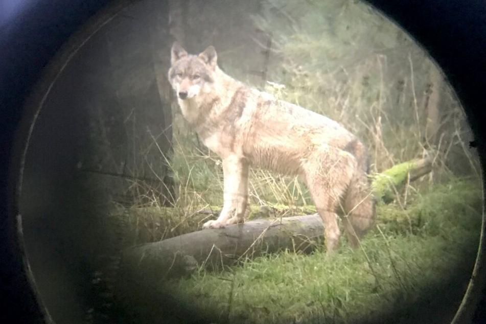 Wegen zahlreicher Tierrisse: Jagd auf Problem-Wölfe eröffnet