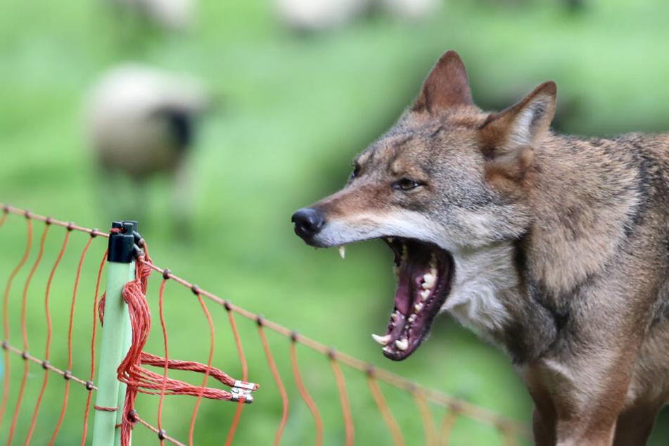 Wolfsattacke im Erzgebirge: Vier Schafe verletzt