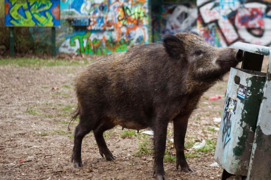 Das Foto aus dem Jahr 2016 zeigt ein Wildschwein vor urbanem Hintergrund auf Nahrungssuche.