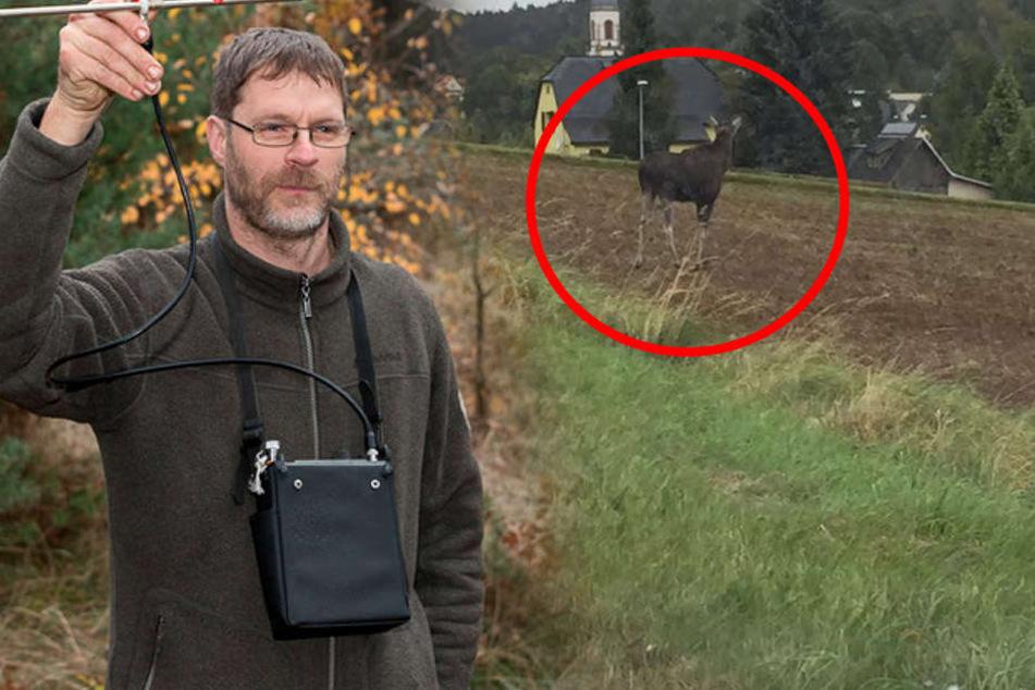 Schon wieder Elche in Sachsen gesichtet! Darum warnen Experten vor den Tieren