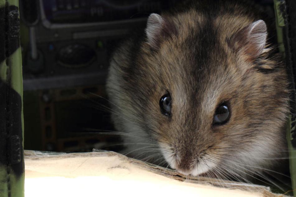 Uni Marburg will Zwerghamster nach Experimenten töten: Tierversuche vorerst vereitelt
