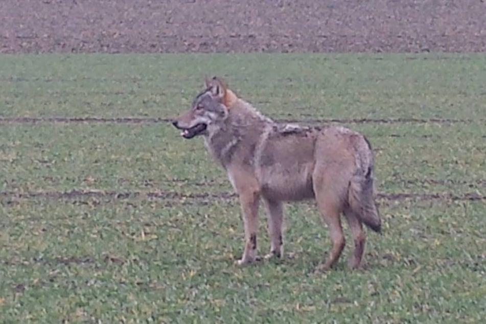 Erneut gesichtet: Nun ist ein Wolf auch in Lemgo entdeckt worden