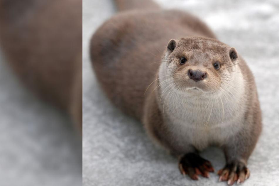 Happy End für Ausreißer Yourek: Görlitzer Otter kehrt wieder zurück