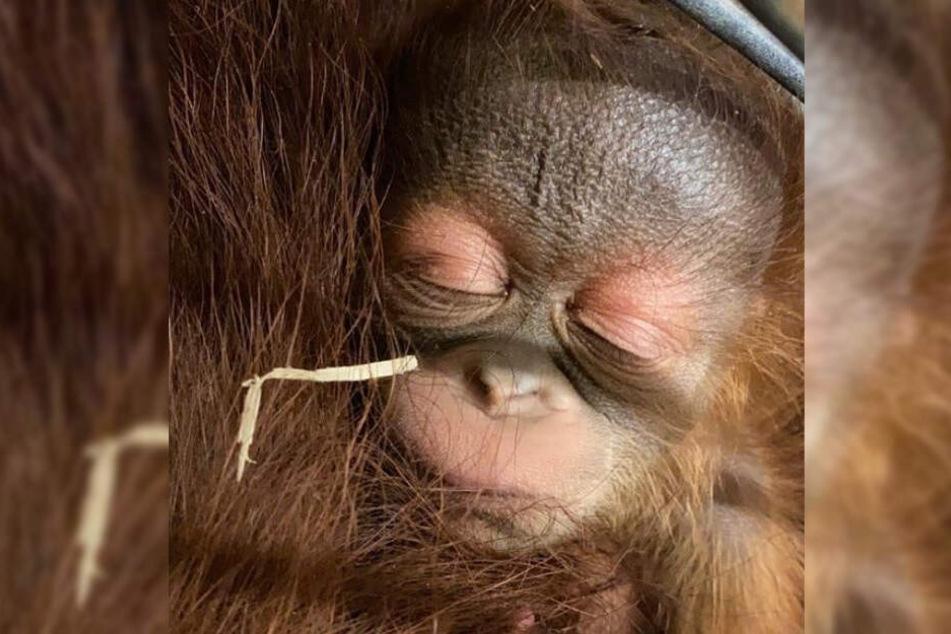 Der kleine Orang-Utan kuschelt sich an seine Mutter