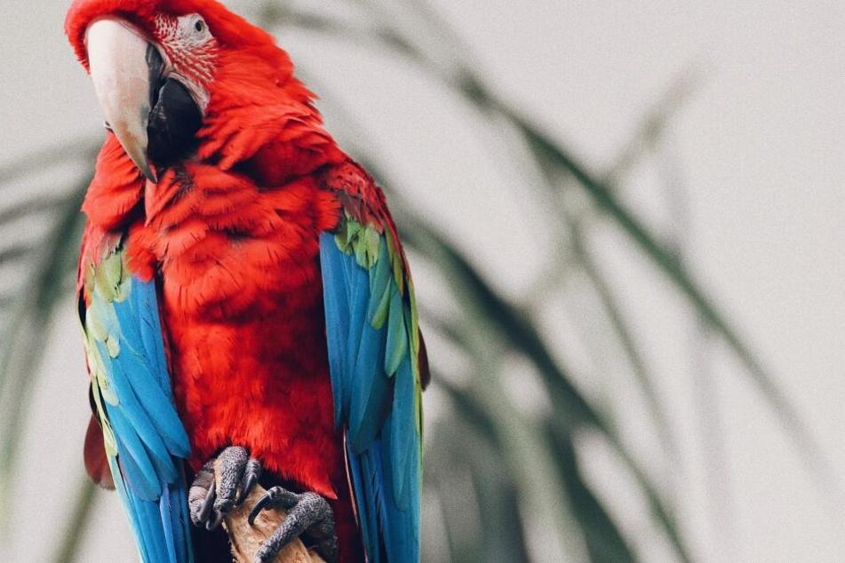 Die Vergiftung von seltenen Vögeln, wie bei diesem roten Ara, kann durch einfache Maßnahmen verhindert werden.