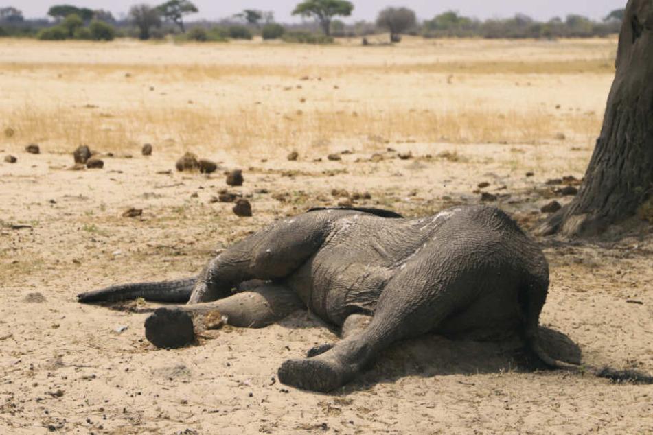Der Kadaver eines toten Elefanten liegt im Hwange-Nationalpark.