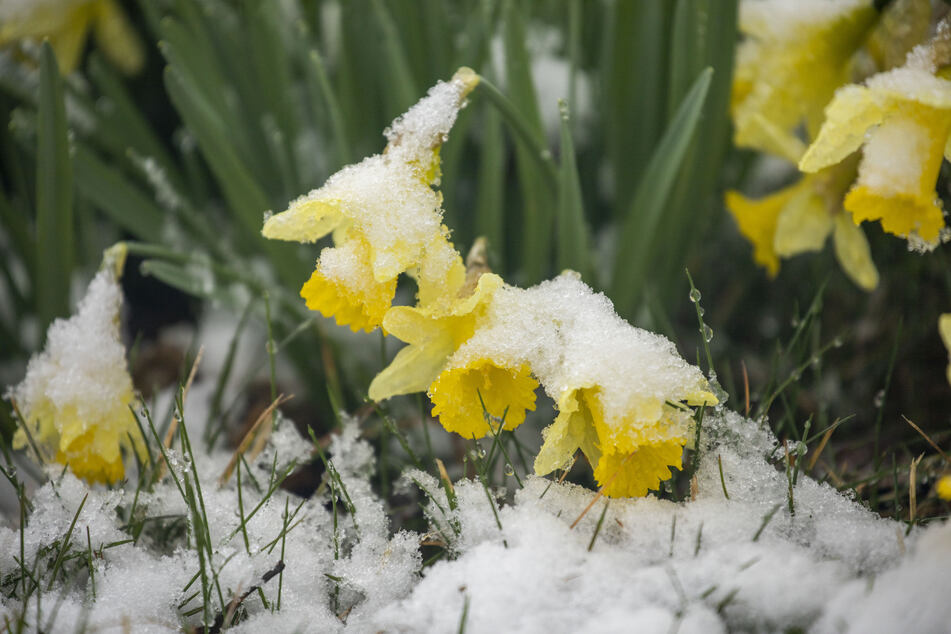 Die Frühblüher wurden eiskalt überrascht und sind nun mit Schnee bedeckt.