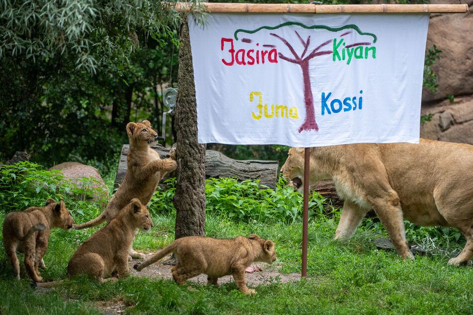 Die Namen der Leipziger Löwen lauten Kossi, Kiyan, Jasira und Juma.