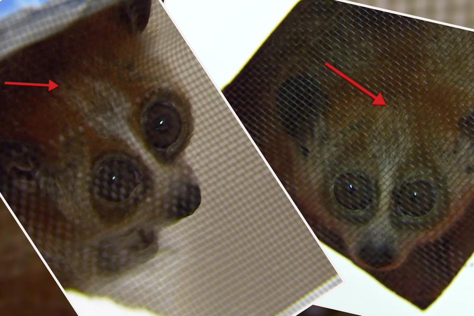 Nach einiger Verwirrung und Verwechslung einigten sich die Pflegerinnen auf folgende Lösung: Die weibliche Cuc hat zwei Streifen auf dem Kopf, der männliche Phuc nur einen Streifen.