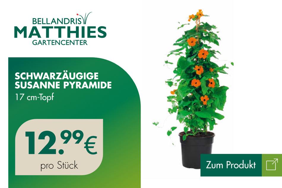 Schwarzäugige Susanne für 12,99 Euro