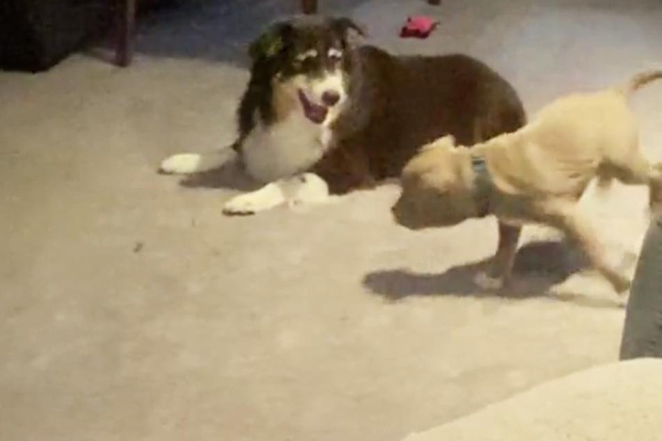 Alter, kranker Hund blüht nochmal voll auf, als er neuen Welpen sieht