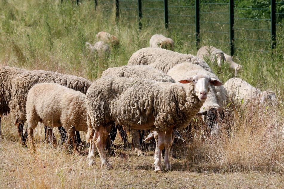 Schafe laufen an einer eingezäunten Entwässerungsanlage der A40 vorbei und grasen.