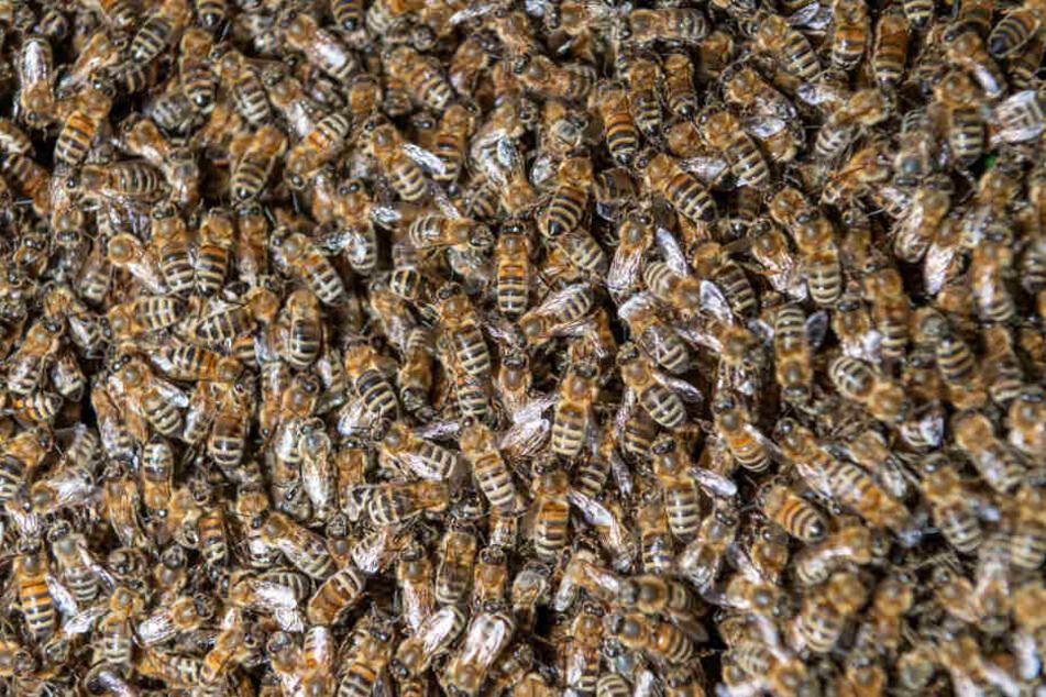 Die Amerikanische Faulbrut wird von Biene zu Biene übertragen.