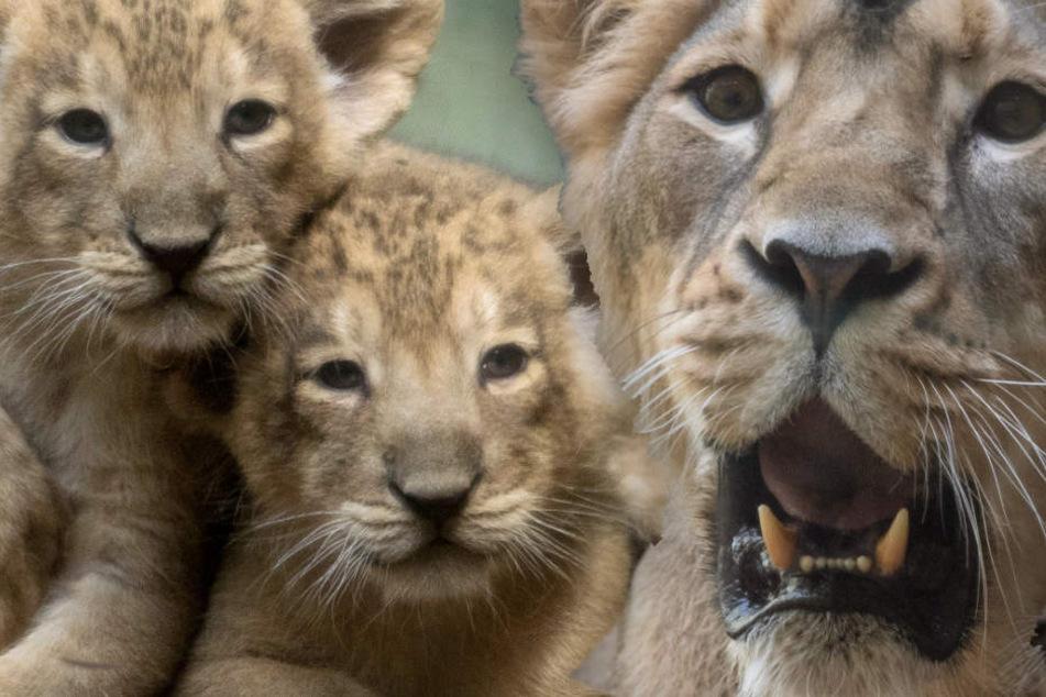 Löwen-Mutter verzweifelt: Plötzlich waren ihre drei Babys weg