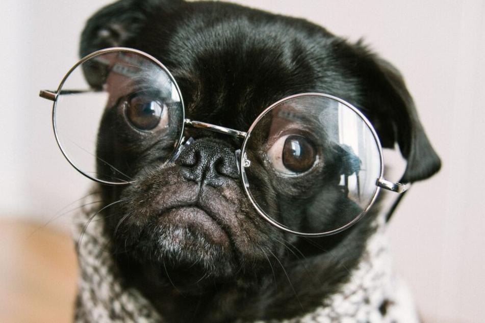 Welches ist die intelligenteste Hunderasse? Der Mops jedenfalls nicht...
