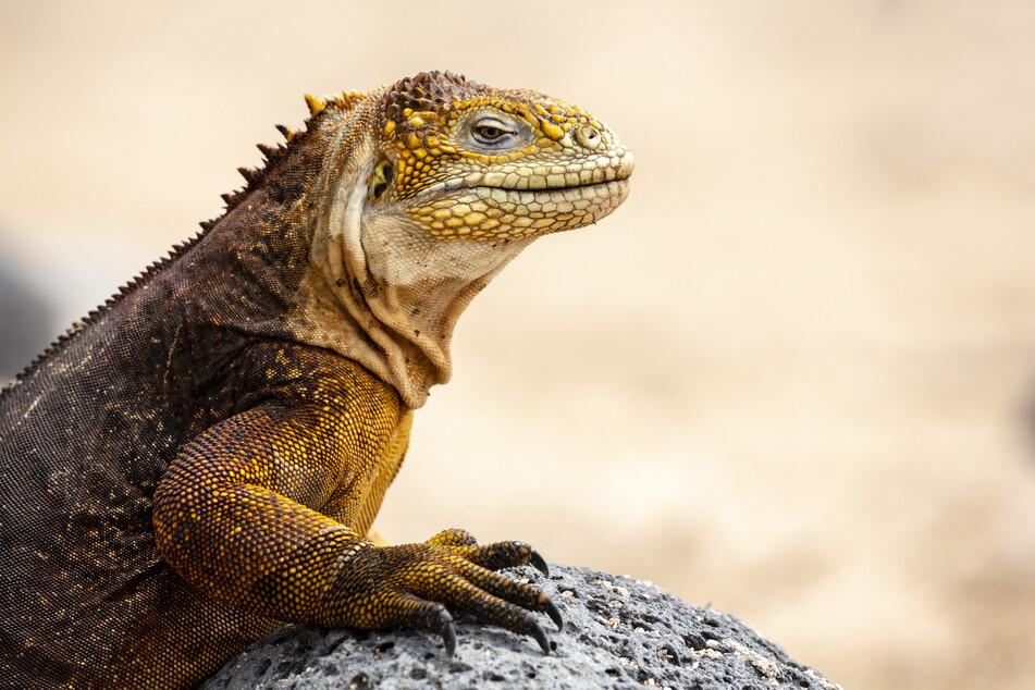 Ein Leguan in Ecuador. (Symbolbild)