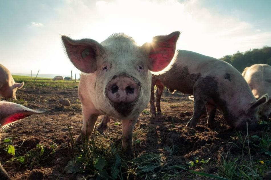 Der englische Anwalt Michael Mansfield hält den Konsum von Fleisch gegen ein Verbrechen gegen die Menschlichkeit. (Symbolbild)
