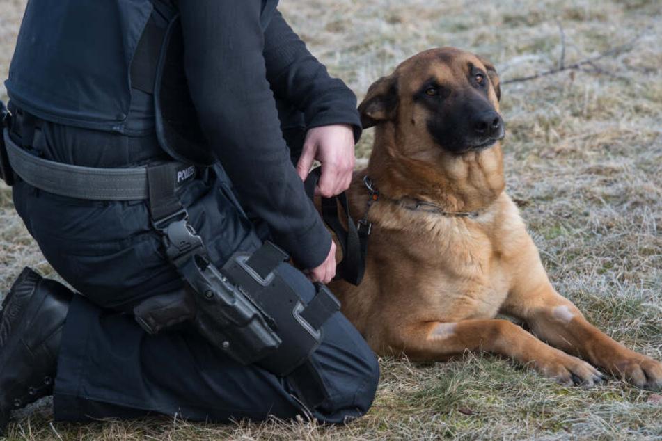 """Einbrecher versteckt sich in Spargelfeld, doch gegen Polizeihund """"Pacman"""" hat er keine Chance"""