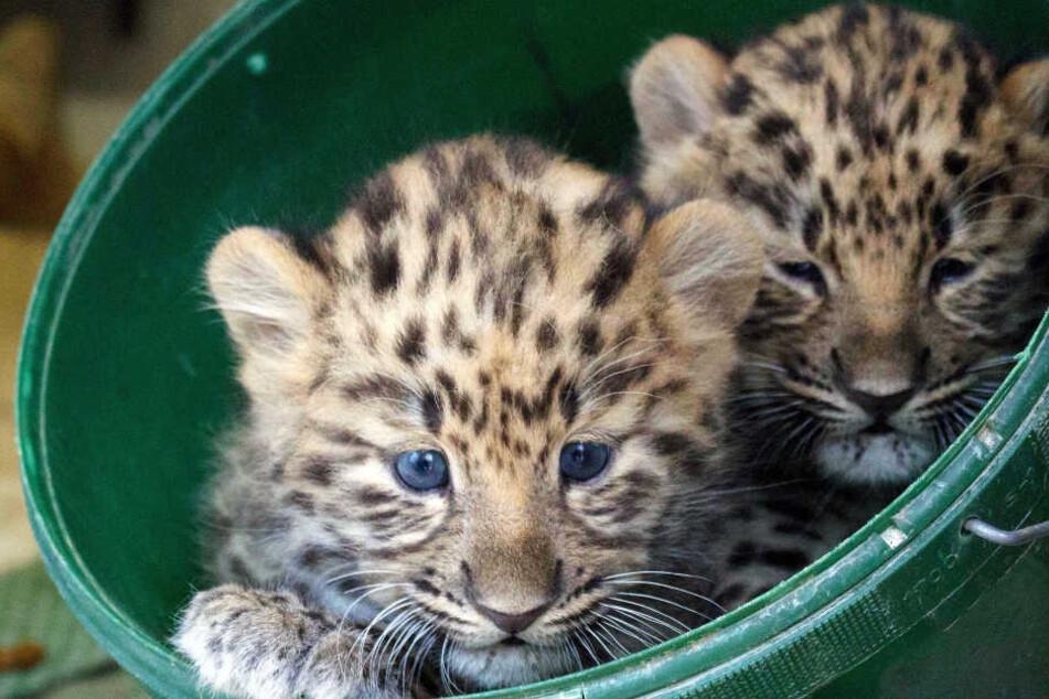 Wer die Gewinnernamen der Leoparden-Babys vorschlägt, sahnt cool ab!