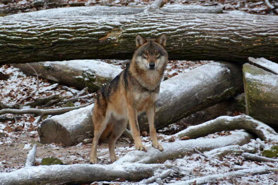 Das Foto zeigt einen Wolf im Wildpark Knüll.