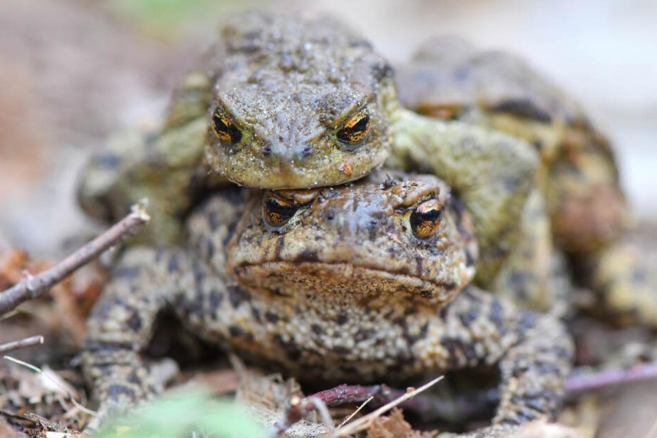 Wie Kröten den Frühling in NRW ankündigen