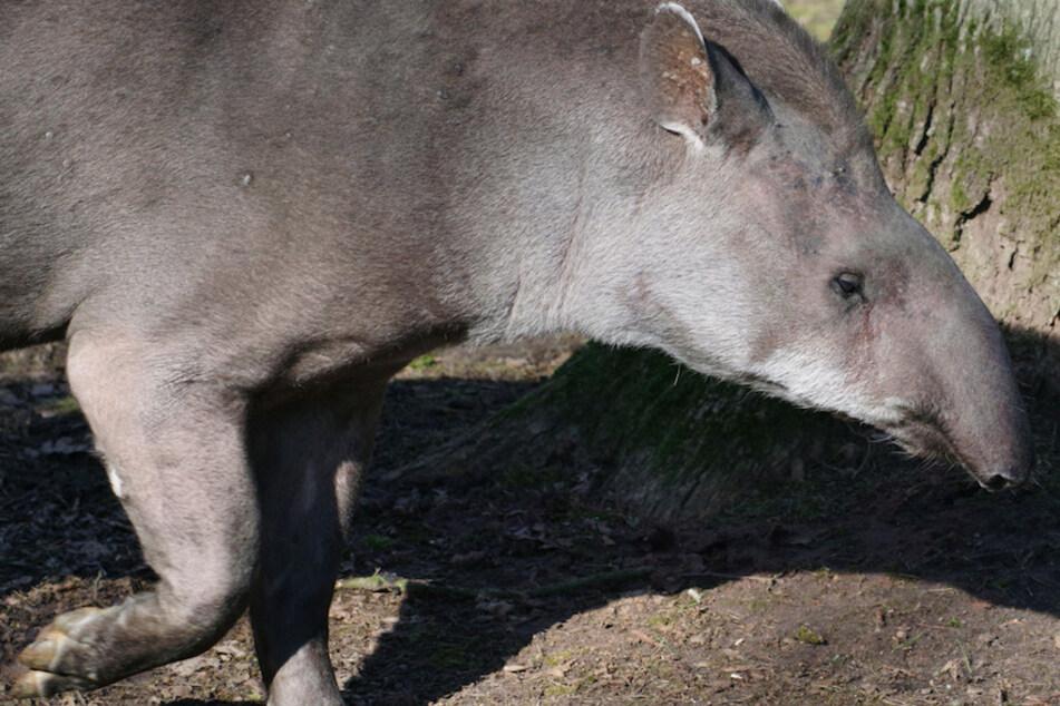 Trauer um Daisy: Ältester Tapir Europas gestorben